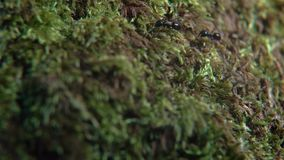 Macro Life of Ants. Macro shot of forest black ants on green spring moss stock video