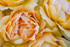 Macro of a light yellow rose Royalty Free Stock Images
