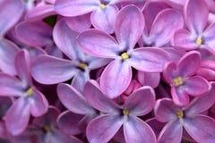 Macro lilás Fotografia de Stock