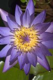 Macro Lilly. Close up of a lavender water lilly Royalty Free Stock Photo