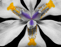 Macro of a lilly in black and white Stock Photography
