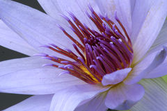 Macro Lily. A macro of the inside of a purple waterlily stock photos