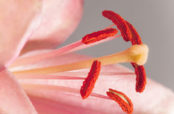 Macro of lily anthers and stigma. Dramatic macro, with great depth of field, of mature golden lily (Lilium sp) anthers and sticky stigma, showing pollen grains Royalty Free Stock Images