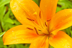 Macro Lily bright orange color with raindrops on the petals. Macro Lily flower bright orange color with raindrops on the petals Stock Images