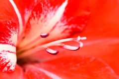 Macro lily Stock Images