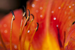 Macro lily flower petals and stamen Stock Photography