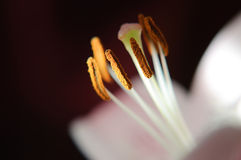 Macro of lily stamens and pistil Royalty Free Stock Photo