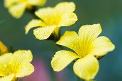 Macro of a Linum campanulatum Royalty Free Stock Photos