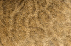 Macro of a Lion cub's fur Stock Photo