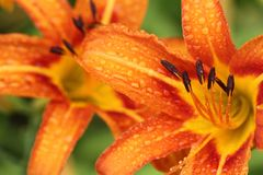 macro lis orange après pluie photos stock