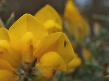 Gorse flower with little green fly Stock Photos