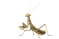 Macro of little praying mantises Stock Photo