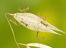 Macro of little praying mantises Stock Image