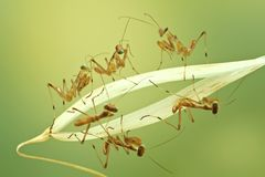 Macro of little praying mantises Stock Photography