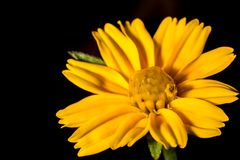 Macro little yellow flower and black background royalty free stock photo