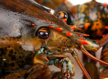 Macro of living lobster Stock Photos