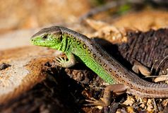 Macro of a lizard outdoor Stock Images