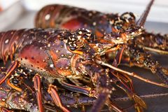 Macro of lobster head. S. Two lobsters on the dish Royalty Free Stock Photos