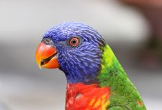 Macro of a Lorikeet royalty free stock photos