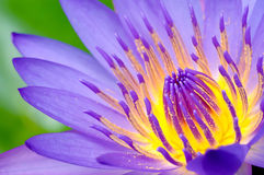 Macro Lotus. Cover image of lotus blossom fully Royalty Free Stock Images