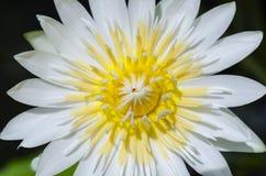 Macro lotus Photographie stock libre de droits