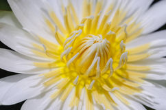 Macro lotus Images stock