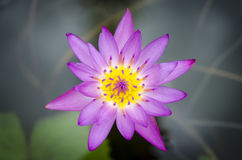 Macro lotus Photos stock
