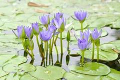 Macro lotus Stock Photos
