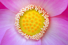 Macro of  lotus flower Royalty Free Stock Image