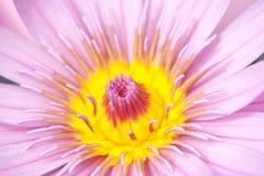 Macro of the lotus flower Stock Photos