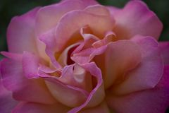 Macro lumineux d'isolement de rose de couleur d'arc-en-ciel Photographie stock