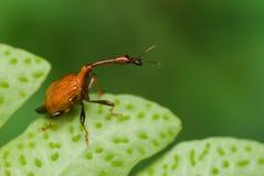 macro Lungo-con il collo tonchio/dello scarabeo Fotografia Stock Libera da Diritti