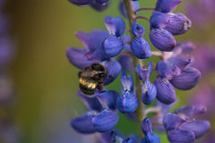Macro Lupine Flower And Flying Bumblebee. Shallow DOF. Blurry Background. Stock Images