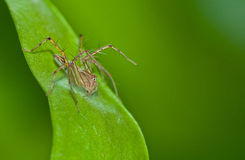 Macro lynx spider Royalty Free Stock Photography
