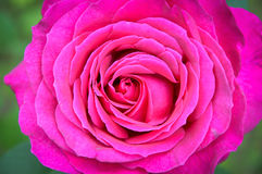 Macro magenta rose royalty free stock image