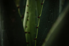Macro maguey plant Stock Images