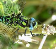 Macro of a male Southern Hawker dragonfly royalty free stock photo