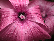 Macro of mallow. Macro of violet mallow flower (Malva sylvestris) with rain drops Stock Photography