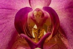 Macro malva bonito do Afrodite do phalaenopsis da orquídea no estame center fotografia de stock