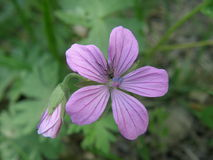 Macro - malva sylvestris, mallow forest. A plant of the family choripetalae high stems and large flowers Royalty Free Stock Photo