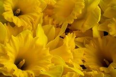 Macro of many big yellow dafflodils flowers Royalty Free Stock Photos