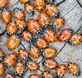 Macro of many ladybugs Coccinellidae Royalty Free Stock Image