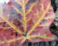Macro Maple Leaf Changing Color Royalty Free Stock Photography