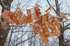 Macro maple seeds on a branch in frost Stock Image