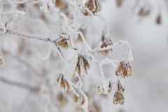 Macro maple seeds on a branch in frost Stock Images