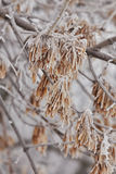 Macro maple seeds on a branch in frost Royalty Free Stock Photos