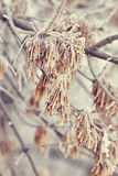 Macro maple seeds on a branch in frost Royalty Free Stock Photography