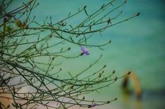 Macro mare selvaggio della Bulgaria della spiaggia di Krapetz del fiore Immagini Stock