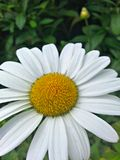 Macro marguerite Images stock