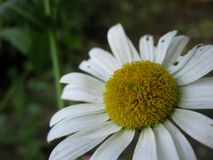 Macro marguerite blanche Images stock